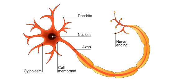 animal cell structure cell parts and functions : animal brain cell diagram - findchart.co