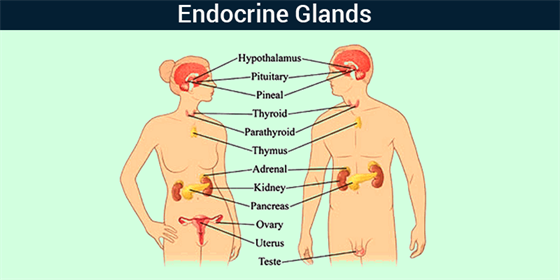 Endocrine System List Of Endocrine Glands Functions Byjus