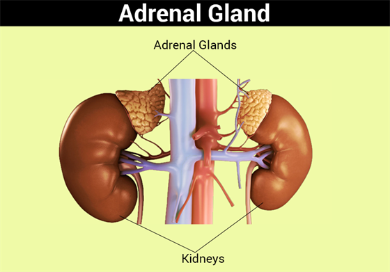 adrenal gland hormones | parts of adrenal glands and functions, Human Body