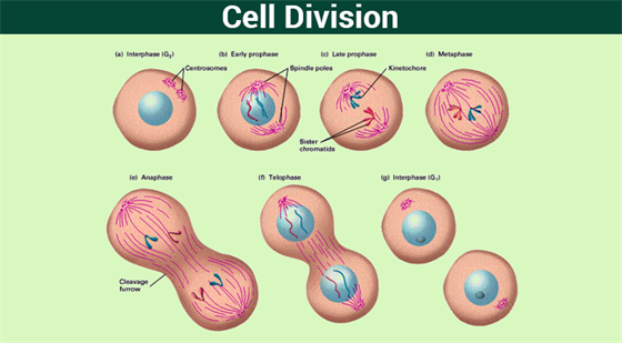 a study of mitosis or cell division A type of cell division that results in two daughter cells each having the same number and kind of chromosomes as the parent nucleus prophase chromosomes become visible, nuclear membrane dissolves, spindle fibers forms.