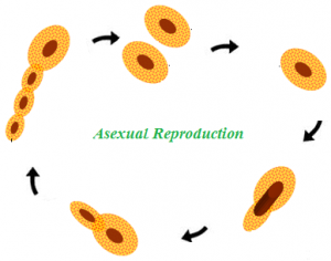 animal asexual reproduction - photo #13