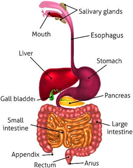 Digestive system for grade 4