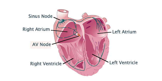 human heart - diagram, functions and anatomy of heart, Human Body