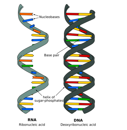 structure of dna essay Describe the biochemical composition, structure, and replication of dna discuss how recombinant dna techniques may be used to correct a point m.