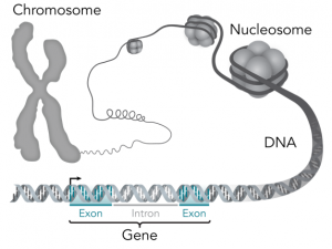 DNA structure & Function and DNA Packaging In Prokaryotes