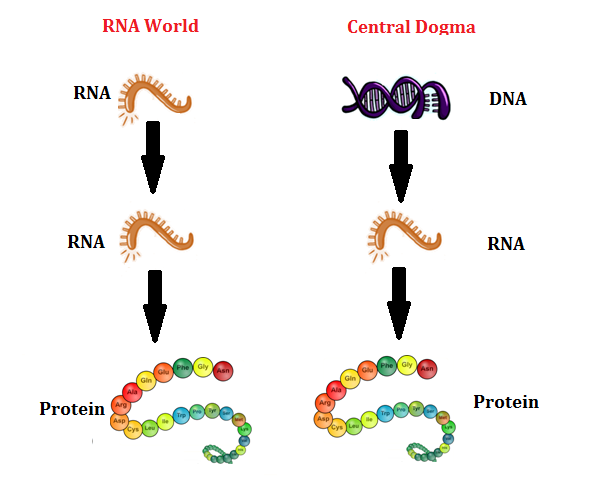 rna world A comparison of rna (left) with dna (right), showing the helices and nucleobases each employs the rna world refers to the self-replicating ribonucleic acid (rna.