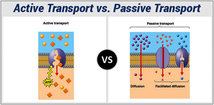 a description of osmosis as a type of passive transport Name your custom course and add an optional description or learning objective organize: osmosis is a type of passive transport that involves the movement of water across a cell membrane passive & active transport in cells related study materials related recently updated.
