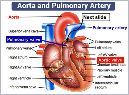 aorta artery and pulmonary artery differences and functions, Human Body