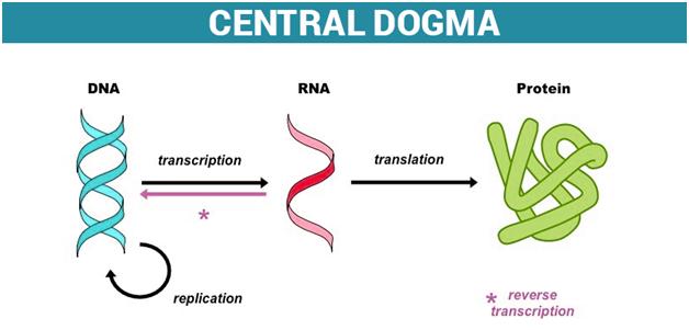 Central Dogma Diagram