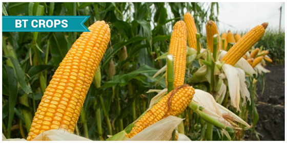 genetically modified food and crops biology essay Persuasive essay on genetically modified food  essay genetically modified crops  i have always been interested in biology and i have heard a lot of bad.