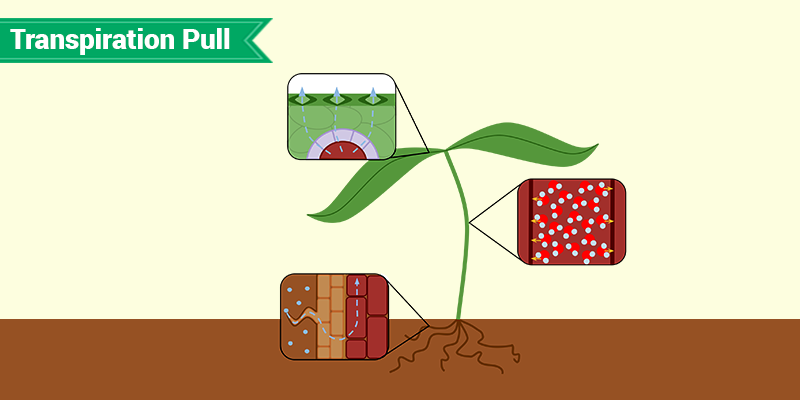 What is Transpiration Pull- Role of Transpiration Pull ...
