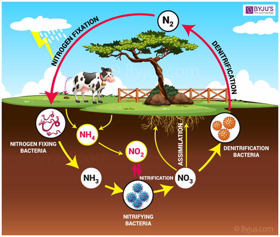 Nitrogen Cycle The Complete Process Of Biogeochemical Cycle