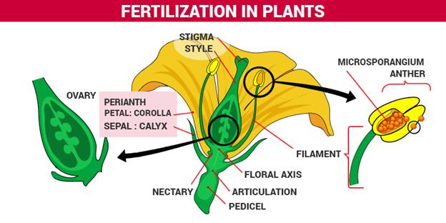 Fertilization Diagram