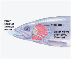 do fish need oxygen to survive how do fish gills work byjus