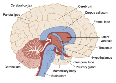 Important bio diagrams preparation tips for cbse class 10 brain important diagrams for cbse class 10 biology ccuart Choice Image