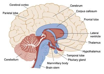 important bio diagrams   preparation tips for cbse class     brain important diagrams for cbse class  biology