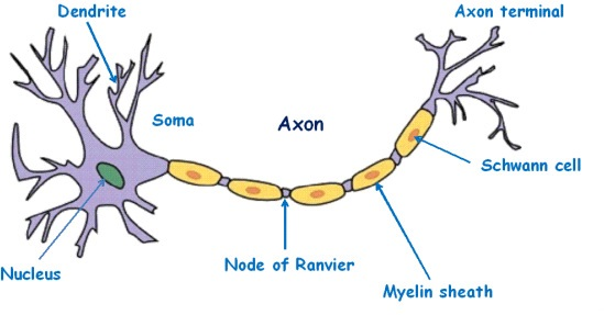 Important bio diagrams preparation tips for cbse class 10 neuron important diagrams for cbse class 10 biology ccuart Gallery