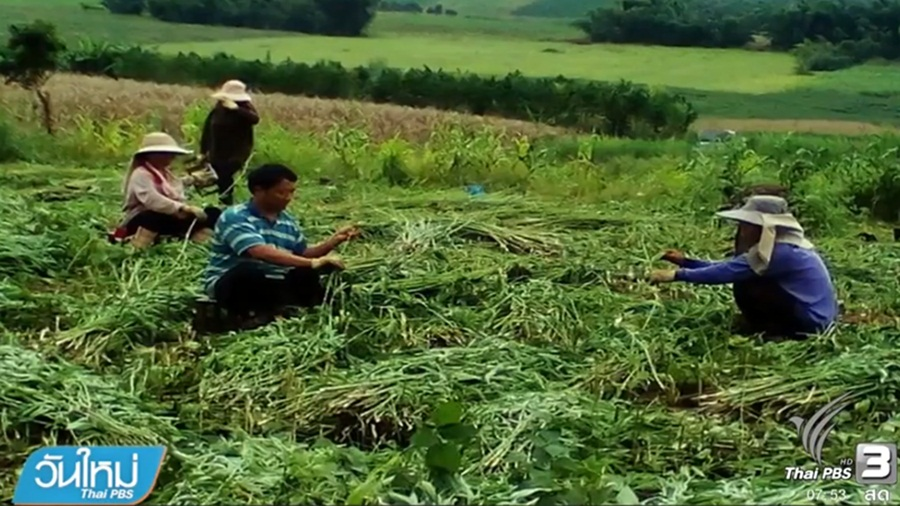 「Thailand Legalize Hemp」の画像検索結果