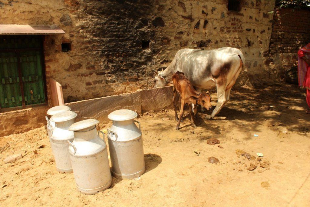 اکبر کی گائے اور بچھڑا (فوٹو : شرتی جین / دی وائر)