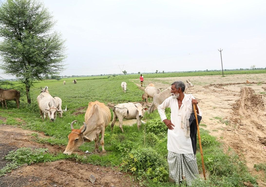 فیروز پور جھرکا سے کول گاؤں جاتے وقت راستے میں ایسے ہی 25-20 گایوں کے ساتھ مسلم گائے پالنے والے دکھ جائیں گے/ فوٹو: دی وائر