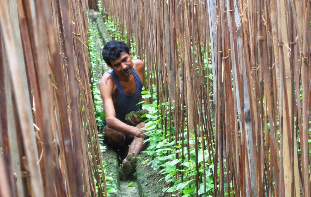 شیام سندر پرساد چورسیا نے 4 کٹھا میں پان کی زراعت کی تھی۔ شیت لہری نے پان برباد کر دیا۔ ان کو اب تک معاوضہ نہیں ملا ہے۔ (فوٹو : امیش کمار رائے / دی وائر)