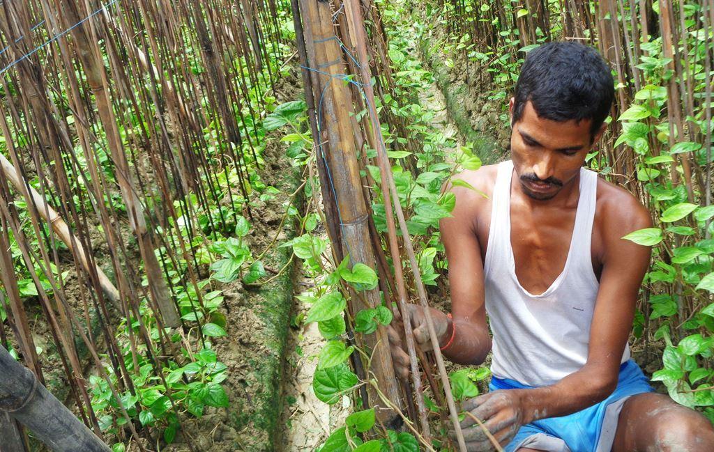 سنجیت کے پان کی زراعت بھی شیتلہر کی نذر ہو گئی تھی۔ زراعتی وزیر سے معاوضہ کی یقین دہانی ملنے کی وجہ سے انہوں نے پٹہ پر 8 کٹھا کھیت لےکر دوبارہ پان کی زراعت کی ہے، لیکن معاوضہ ملتا نہیں دکھ رہا ہے۔ (فوٹو : امیش کمار رائے / دی وائر)
