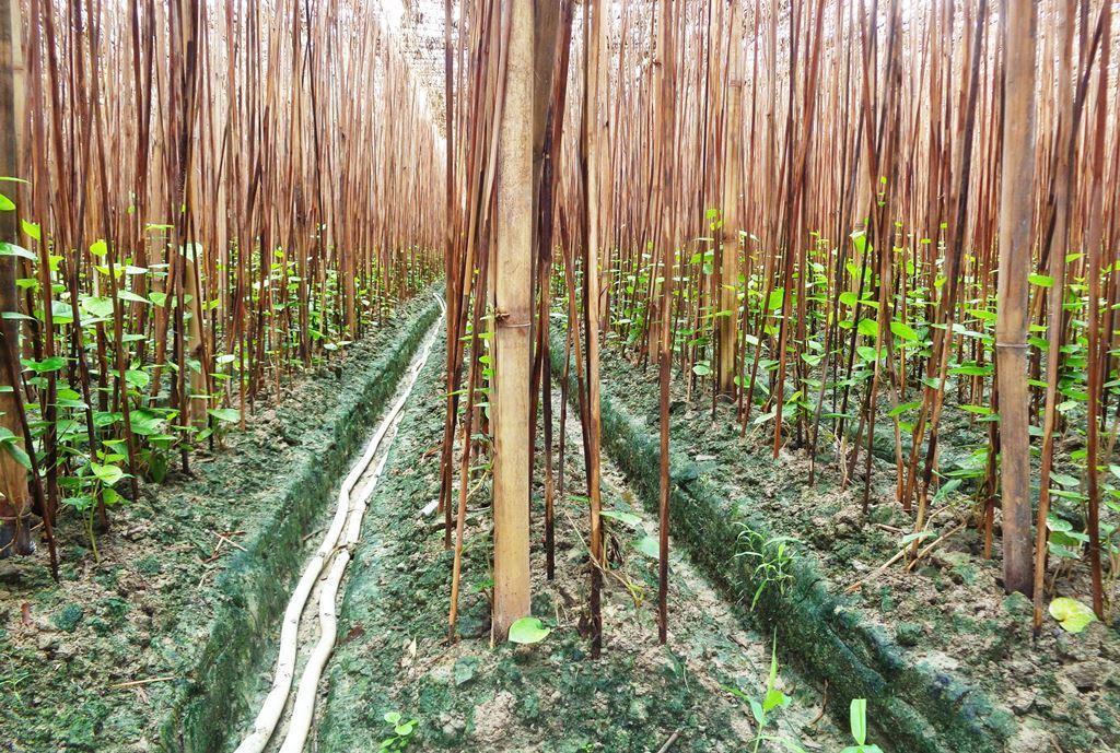 پان کا کھیت (فوٹو : امیش کمار رائے / دی وائر)