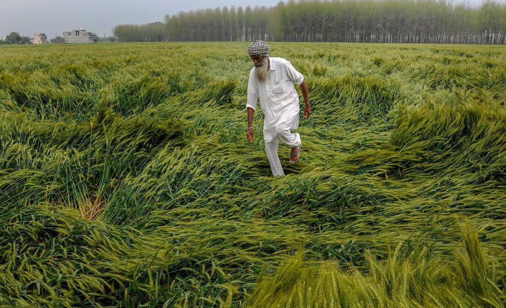 خراب ہوئی فصل کو دیکھتا کسان (فوٹو : پی ٹی آئی)