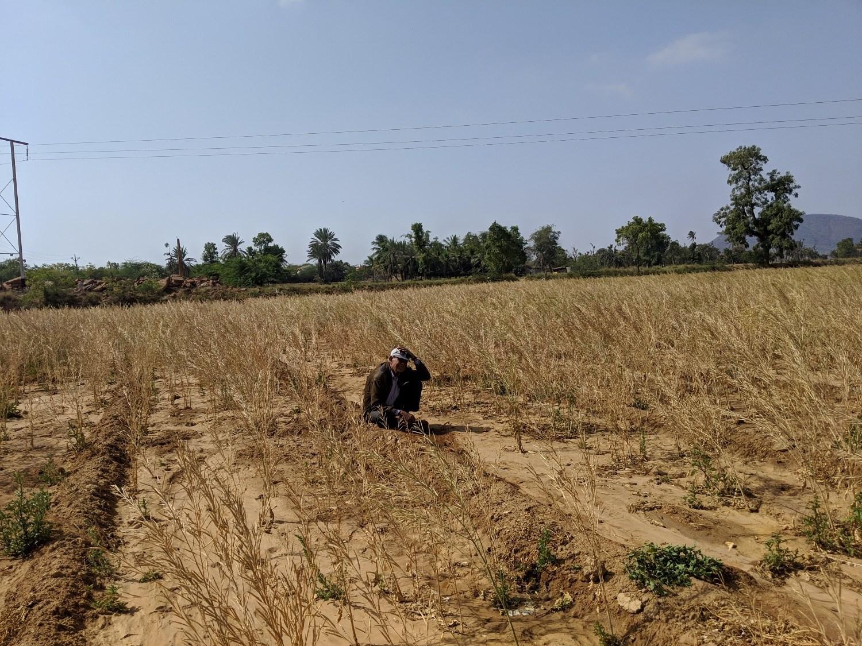 کچھ کے نکھترانا علاقے میں سرسوں کا کھیت۔ بارش کی کمی کی وجہ سے زیادہ تر فصلیں برباد ہو گئی ہیں۔ (تمام فوٹو : کبیر اگروال /دی وائر)
