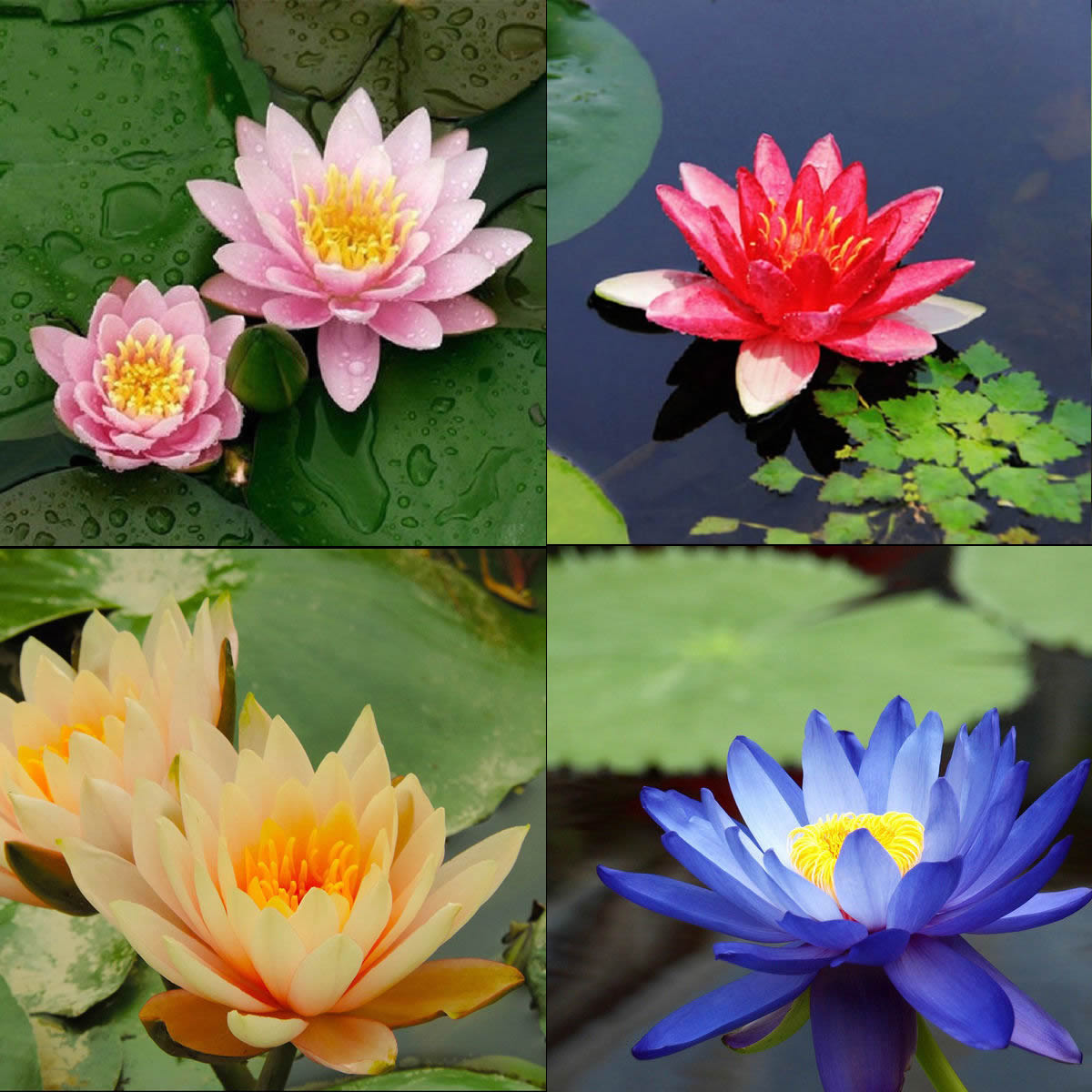 10 seeds 4 color mix bowl lotus flower seed water aquatic plants 10 seeds 4 color mix bowl lotus flower seed water aquatic plants nelumbo izmirmasajfo