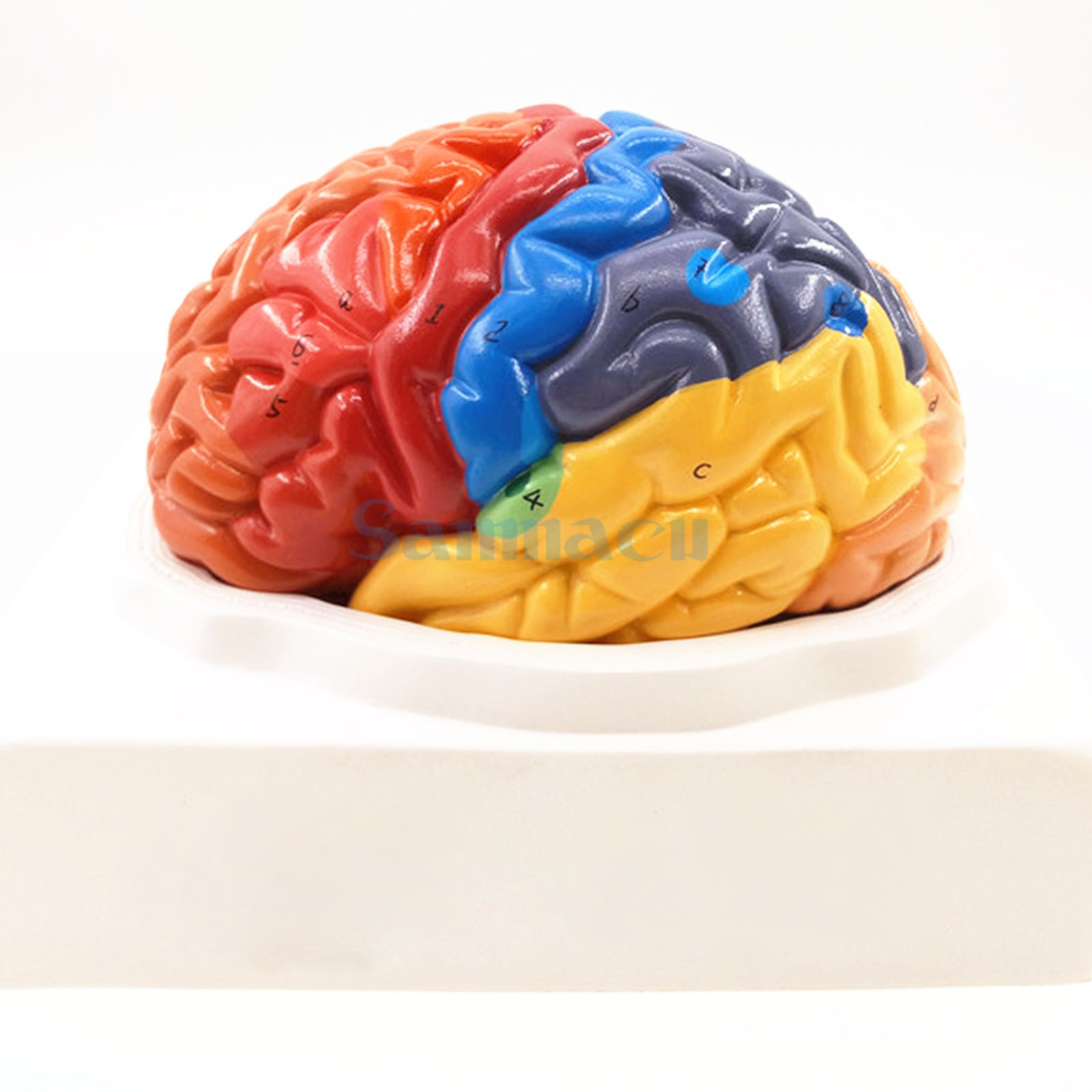 2 Part Color Human Brain Function Domain Anatomy Anatomical Model