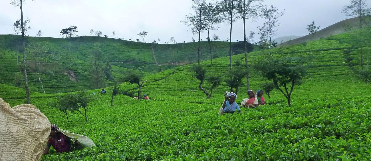 Plantation Tour at Nuwara Eliya