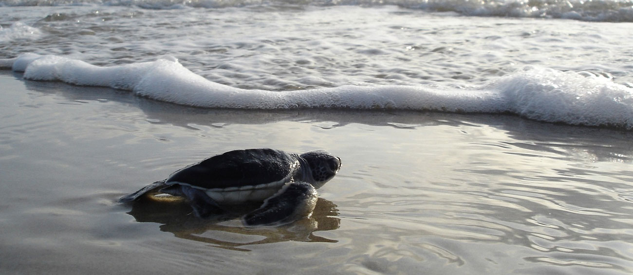 Release a baby turtle at Bentota
