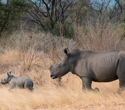 Spot Rhinos in Matopos National Park