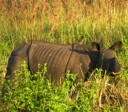 Spot One-horned Rhinos in Kaziranga Wildlife Sanctuary