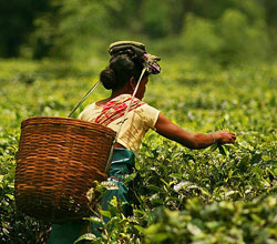 Discover the Lush Green Tea Fields of Jorhat