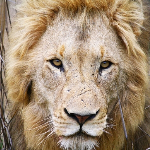 Spot Lions at Gir National Park