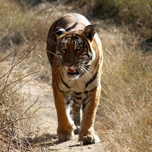 Spot a tiger in National Park