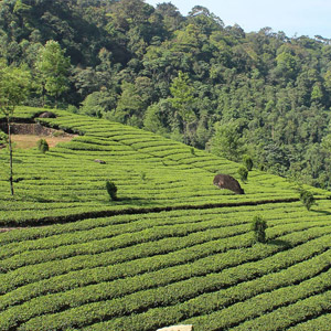 Munnar, South India's Tea Heaven