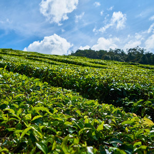 Tea Tasting or Tea Plantation Walk in Munnar