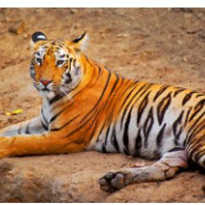 Spot Tiger at Tadoba – Andhari Tiger Reserve