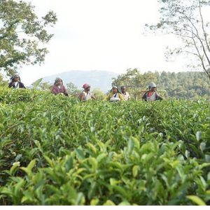 Tea Plucking in Makaibari