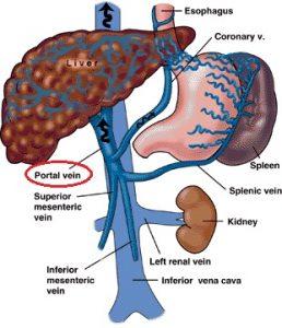 Vena Portal : Pengertian – Fungsi – Resiko Penyakit
