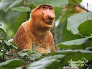 Proboscis Monkey  Safari River