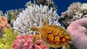 kura kura di antara karang
