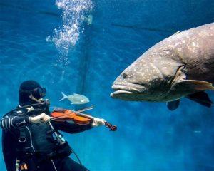 penyelam berenang sambil memainkan biola untuk ikan