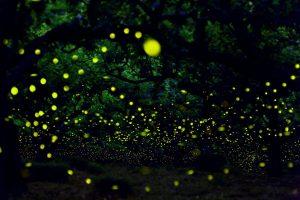 selangor fireflies