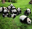 3 Tempat Wisata Di Chengdu Yang Paling Terfavorit Dan No 2 Primadonanya