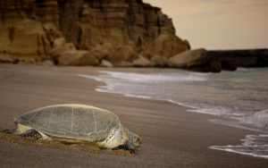 sur-turtles