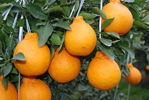 Hallabong Mandarin Orange